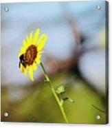 Buzy Bee Acrylic Print