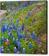 Hill Country Yucca Acrylic Print