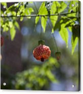 Red Papery Covering Over Its Fruit Acrylic Print