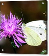Cabbage Butterflies On Spotted Knapweed Acrylic Print