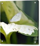 Cabbage Butterfly Acrylic Print