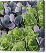 Cabbage Patch Acrylic Print