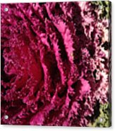 Cabbage Rainbow  Acrylic Print