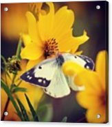 Cabbage White Acrylic Print