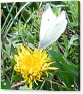 Cabbage White Butterfly  Acrylic Print