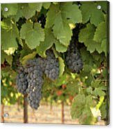 Cabernet Grapes One Acrylic Print