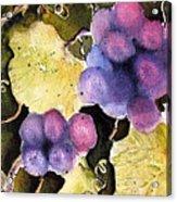 Cabernet Harvest 2 Acrylic Print