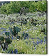 Cactus And Willow-wildflowers Of Texas Acrylic Print