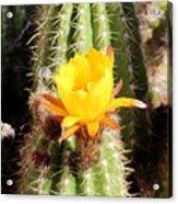 Cactus Bloom 033114a Acrylic Print