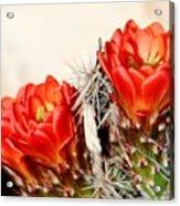 Cactus Bloom 033114m Acrylic Print