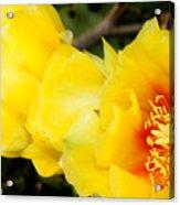 Cactus Bloom 1 Acrylic Print