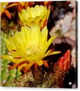 Cactus Bloom In Yellow 050715ab Acrylic Print