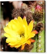 Cactus Blooms Yellow 050214g Acrylic Print