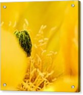 Cactus Blossom Up Close And Personal Acrylic Print