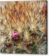 Cactus Bud Acrylic Print