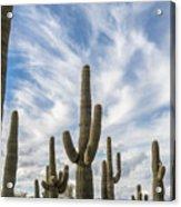 Cactus Choir Acrylic Print