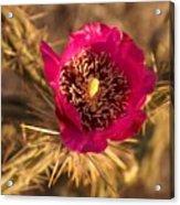 Cactus Flower 1 Acrylic Print
