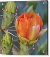 Cactus Flower And Buds Acrylic Print