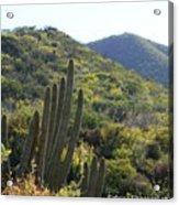 Cactus In The Desert  Acrylic Print