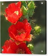 Cactus Red Beauty Acrylic Print