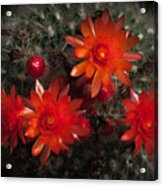 Cactus Red Flowers Acrylic Print