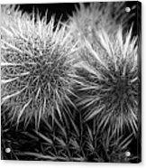 Cactus Spines Acrylic Print