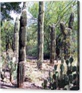 Cactus West Acrylic Print