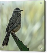 Cactus Wren 0295 Acrylic Print