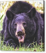 Cades Cove Black Bear Acrylic Print