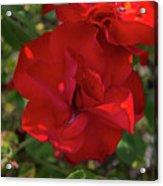 Caecilla's Rose Garden Acrylic Print