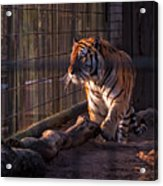 Caged King Of The Jungle Acrylic Print