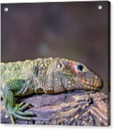 Caiman Lizard Acrylic Print