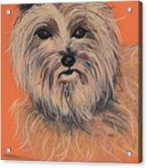 Cairn Terrier Acrylic Print