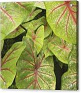 Caladium Leaves Acrylic Print