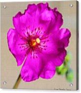 Calandrinia Flower Acrylic Print