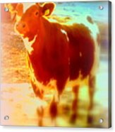 This Calf Has A Hope For A Long And Happy Life But How And When Will It End   Acrylic Print
