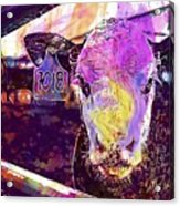 Calf Cow Maverick Farm Animal Farm  Acrylic Print
