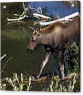 Calf Moose Acrylic Print
