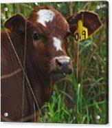 Calf Nineteen Acrylic Print