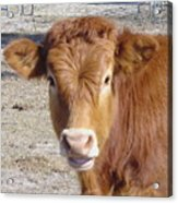 Calf Smiles Acrylic Print