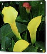Cali Lilies Acrylic Print