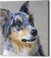 Calico Dog Acrylic Print