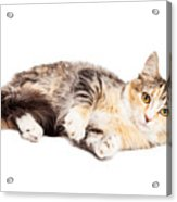 Calico Kitty Laying Over White Acrylic Print