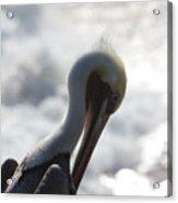 California Brown Pelican 1 Acrylic Print
