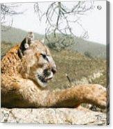 California Cougar Acrylic Print