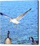 California Gull - Canada Geese Acrylic Print