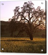 California Hwy 25 Oak Acrylic Print