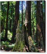 California - Muir Woods 006 Acrylic Print by Lance Vaughn