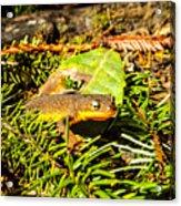 California Newt 4 Acrylic Print