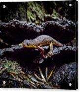 California Newt  Acrylic Print